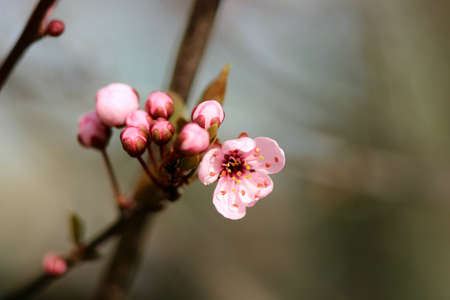 almond bud: Flowering of the almond tree - pink Stock Photo