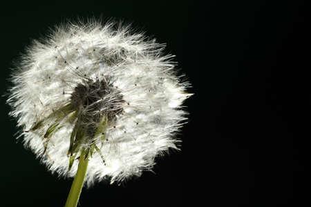 backlit: Dandelion - Backlit
