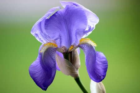 bearded iris: Blue Bearded Iris