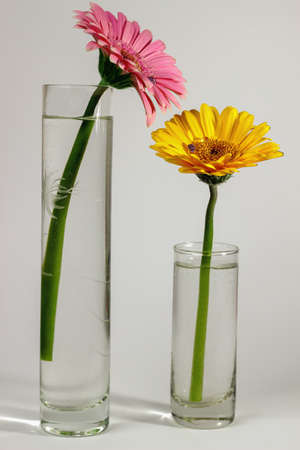flower of live: Gerbera Stock Photo