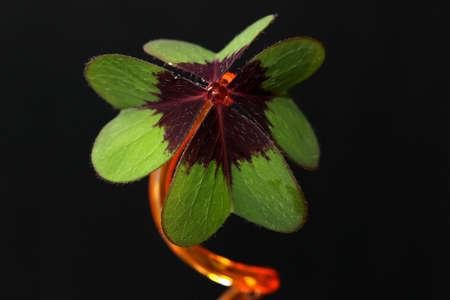 pflanze: Stiel mit Kleeblatt Stock Photo