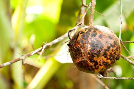 Stretta Melograno con bug
