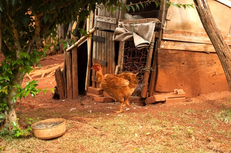 chicken in front of your pond on the farm