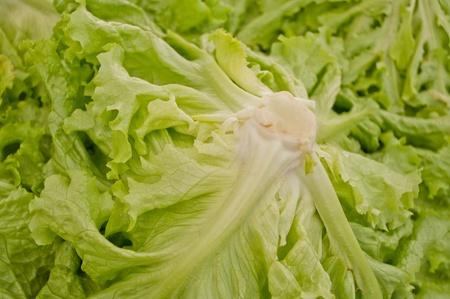 Pretty close of green lettuces photo