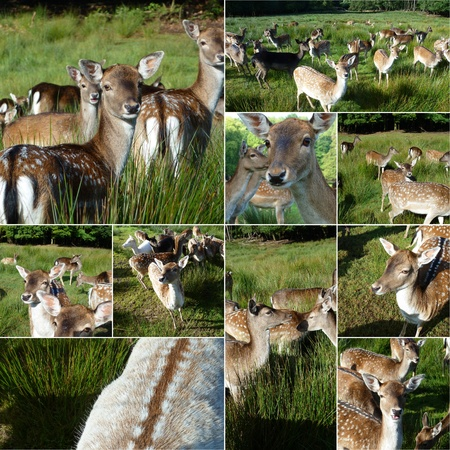 Collage with deers in the meadow  Stock Photo - 11563490