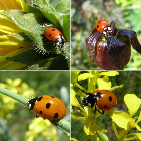 Ladybeetle on flowers in the summer  photo