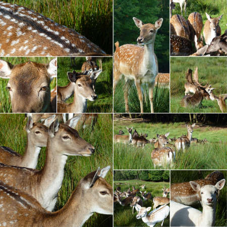 Collage with deers in the meadow  photo