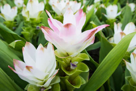 siam: Siam tulip in garden