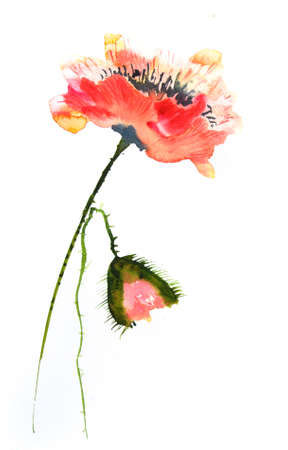 red poppy: Beautiful red poppy flowers watercolor painting