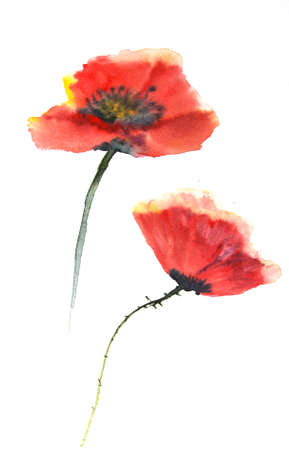 isolation backdrop: Red poppy flowers Stock Photo