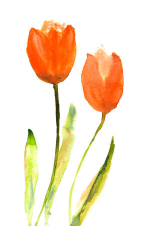 isolation backdrop: Red tulip flowers