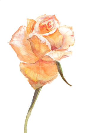 yellow rose: Yellow rose, watercolor painting Stock Photo
