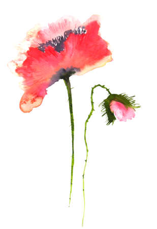 red poppy: Red poppy flower on white, watercolor painting