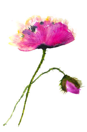 Deep pink poppy flower on white, watercolor painting