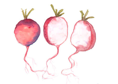 intact: Red radish art,watercolor vegetable painting