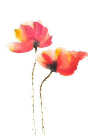 red poppy: Red poppy on white