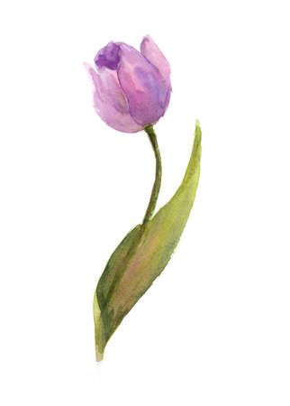 Purple single tulip on white background, watercolor illustrator, hand pained Stock Photo