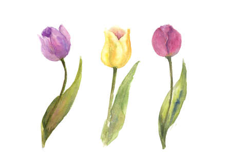 Three single tulips on white background, watercolor illustrator, hand pained
