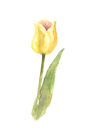 Yellow tulip on white background, watercolor illustrator, hand pained Stock Photo
