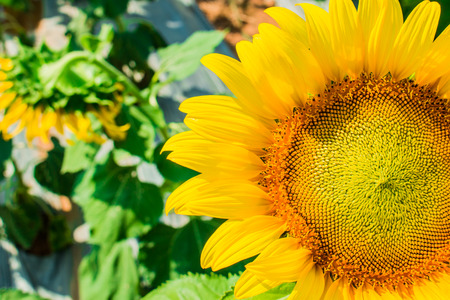 Sunflower in the farm on blur background