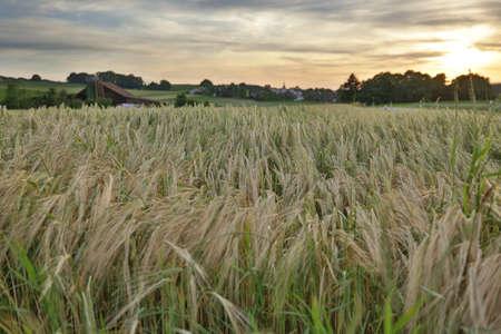 Blowing Grain Fields Sun Setting Stock Photo