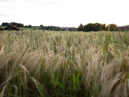 Blowing Grain Fields