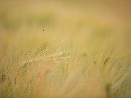 Fields of grain Stock Photo