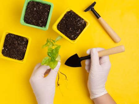 Concept of a garden and vegetable garden in an apartment. Copy space. Flat lay.