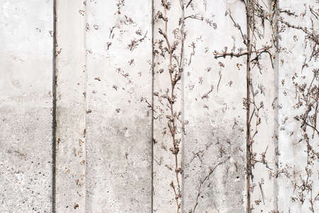 cohesive: pattern of dry ivy branches on a concrete wall, background, close up, horizontal