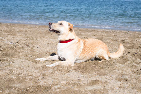 5 year old: portrait of a blonde, 5 year old, labrador retriever mix male dog, wearing a red collar, very focused, sitting and waiting for a commend at the beach on a very sunny, summer day