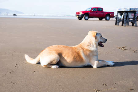 labrador teeth: blonde, labrador retriever mix, male dog with a red truck at the background. he is very focused, sitting and watching people at the Canon Beach in Oregon on a very sunny, summer day.