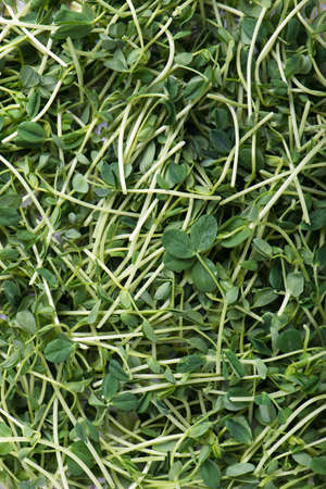 heap of snow: heap of organic and freshly harvested snow pea shoots or sprouts as food background, top view, vertical Stock Photo