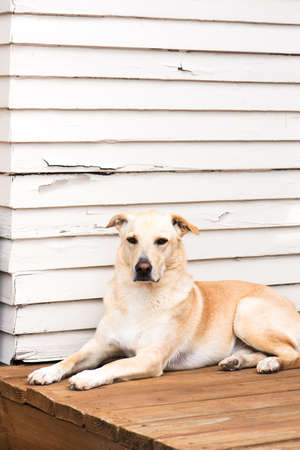 observing: blonde labrador retriever mix rescue dog, sitting in a outdoor garden by the white wall and observing. vertical shot with copy space