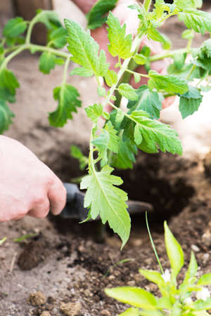 previously: male hand seedling a young tomato plant into a previously dug hole in his private garden, close up, vertical