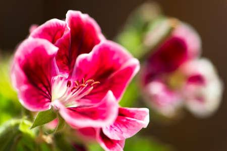 martha: close up of a beautiful, pink martha washington geranium flower in seasonal colors, horizontal composition with copy space