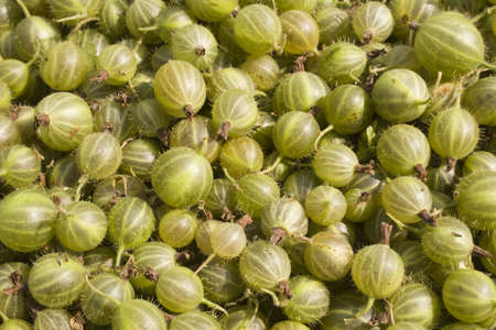 Gooseberry - very tasty and useful berry. Food background of gooseberries