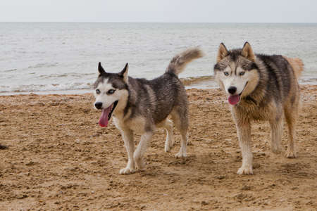 Couple of husky dogs playing on sand seaside with sea, sky and city background