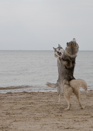 Couple of husky dogs playing and dancing on sand seaside with sea and sky background