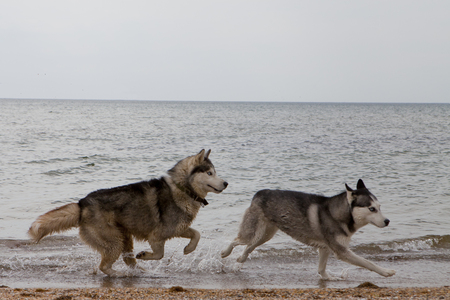 Couple of husky dogs running by the edge of sea, with sea and sky background