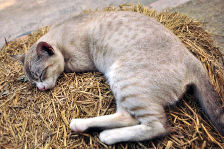 This is Thai cat sleep on the farm photo