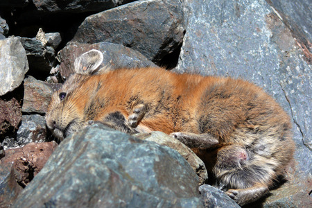 naturalized: Pika resting in rocks. High elevation species, Altai mountains. Close-up Stock Photo