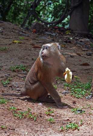 naturalized: The pig-tailed macaque eats banana in Thailand jungle. Close-up