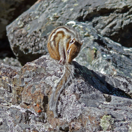 A washing chipmunk in the rocks Stock Photo