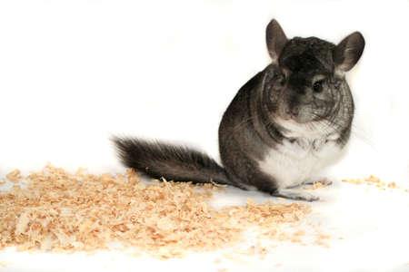chinchilla: pet chinchilla portrait Stock Photo