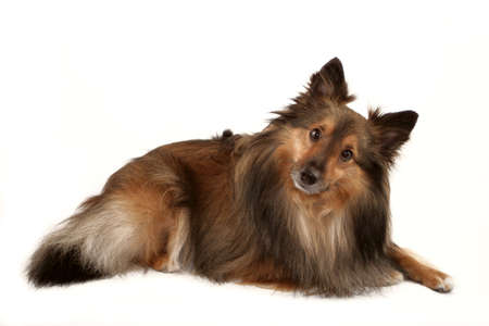 chien de berger: Belle fourrure pure Berger Shetland (Sheltie)  Banque d'images