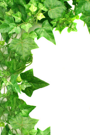 botanical, green border made of ivy leaves photo