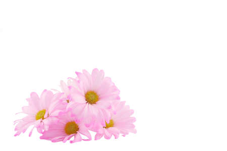 isolated image of pink daisies with copy-space appropriate for greeting card Banco de Imagens - 764242