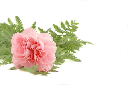 beautiful pink carnation and green leafs on white background