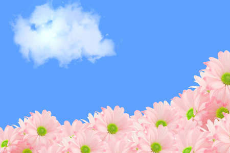 isolated image of pink daisies and blue sky with copy-space appropriate for greeting card