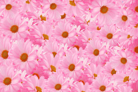 pink daisies piled up in a bunch